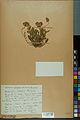 Neuchâtel Herbarium - Anthyllis cherleri - NEU000034020.jpg