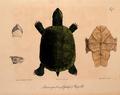 Neue Wirbelthiere zu der Fauna von Abyssinien gehörig (1835) Pelomedusa subrufa.png