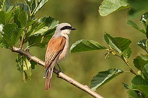 Schwentine Oxbow Lake - Red-backed shrike, male - one of the species that occur in the nature reserve