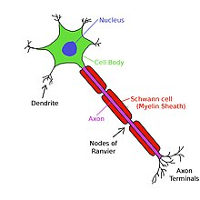 Axons of neurons are wrapped by several myelin sheaths, which shield the axon from extracellular fluid.  There are short gaps between the myelin sheaths known as nodes of Ranvier where the axon is directly exposed to the surrounding extracellular fluid.