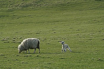 English: New lamb and mother, Skaw Each crofte...
