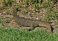 Nile Monitor Lizard - Varanus niloticus, Gorongosa National Park, Mozambique (46430025691).jpg