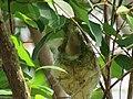 Nilgiri Flowerpecker Nest IMG 3399.jpg