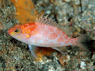 <i>Plectranthias</i> genus of fishes
