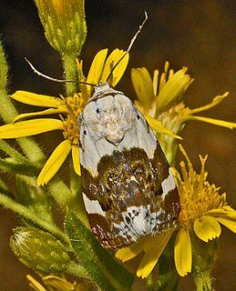 <i>Acontia lucida</i> Species of moth