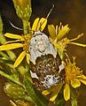 Noctuidae - Acontia lucida-001.JPG
