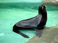 Northern Fur Seal 04.JPG