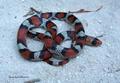 Northern Scarlet Snake, Cemophora coccinea copei, N. Florida.png