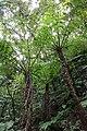 Northern limit of Hego habitat in Hachijojima Island A.jpg