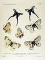 NovaraExpZoologischeTheilLepidopteraAtlasTaf21.jpg
