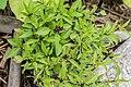 Ocimum basilicum in Jardin des 5 sens (2).jpg
