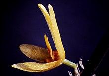 Octomeria brevifolia-02.jpg