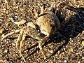 Ocypode ceratophthalmus-dorsal.jpg