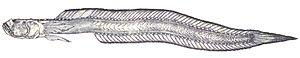 Odontamblyopus lacepedii - Image: Odontamblyopus lacepedii (Temminck et Schlegel,1845)