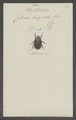 Odontorrhina - Print - Iconographia Zoologica - Special Collections University of Amsterdam - UBAINV0274 022 06 0023.tif