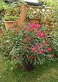 Oleander (Nerium oleander) (9475786599).jpg