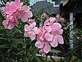 Oleander (Nerium oleander) flowers.jpg