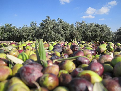 Olive harvest in Israel