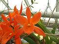Ongeïdentificeerde orchidee1 II.jpg