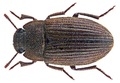 Opatropis aethiopica Ardoin, 1838 (29150273275).png