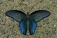 Open wing position of Papilio protenor Cramer, 1775 – Spangle WLB DSC 0333.jpg