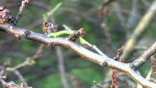 File:Operophtera brumata caterpillar.webm