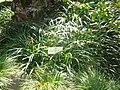 Ophiopogon jaburan.JPG