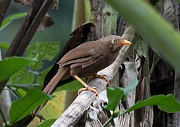 Orange-billed babbler (18909680320).jpg