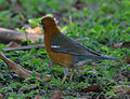 Orange-headed Thrush (Zoothera citrina) in Kolkata I IMG 3211.jpg