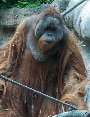 Borneo orang utan pongo pygmaeus