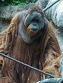 OrangutanP1.jpg