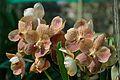 Orchidaceae - Alipore - Kolkata 2013-02-10 4745.JPG