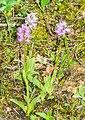 Orchis italica in Lozere (6).jpg