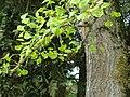 Orgeval (Aisne) Ginkgo Biloba, détail (feuilles, fleurs, écorce).JPG
