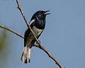 Oriental Magpie-Robin Thailand.jpg