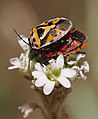 Ornate Shieldbug on hoary alison (35813553191).jpg