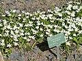 Ornithogalum montanum - Copenhagen Botanical Garden - DSC07492.JPG