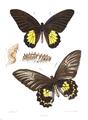 Ornithoptera darsius 418.png