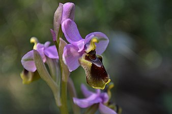 """Orquídia """"Ophrys tenthredinifera"""" al Parc Natural de s'Albufera de Mallorca.jpg"""