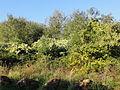 Ostricourt - Terril n° 120, 6 d'Oignies Nord (12).JPG