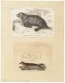 Otaria ursina - 1700-1880 - Print - Iconographia Zoologica - Special Collections University of Amsterdam - UBA01 IZ21100073.tif