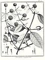 Ourouparia guianensis Aublet 1775 pl 68.jpg