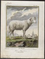Ovis aries - 1700-1880 - Print - Iconographia Zoologica - Special Collections University of Amsterdam - UBA01 IZ21300021.tif