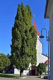 Pöls - Naturdenkmal 748 - Stieleiche am Hauptplatz - 3.jpg