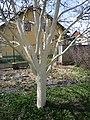 Před jarní bílení kmenů ovocných stromů 03.jpg