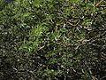 P20140310-0075—Aesculus californica—Old Briones Road (13205251723).jpg
