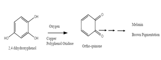 Food browning - Example of a general reaction of polyphenols by Polyphenol Oxidases that catalyzes enzymatic browning. The production of Quinones undergoes more reactions which eventually form brown pigments on the surface of the food.