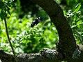 PP Na Popovickem kopci 022 Prunus avium Xylocopa violacea.jpg