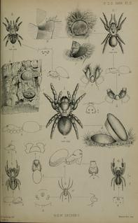 <i>Poecilomigas</i> genus of arachnids