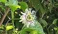 Paasion Flower.jpg